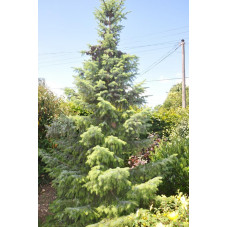 Picea omorika ( epicea de serbie)