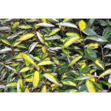 Eleagnus panaché