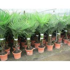palmier de Chine - 140 cm
