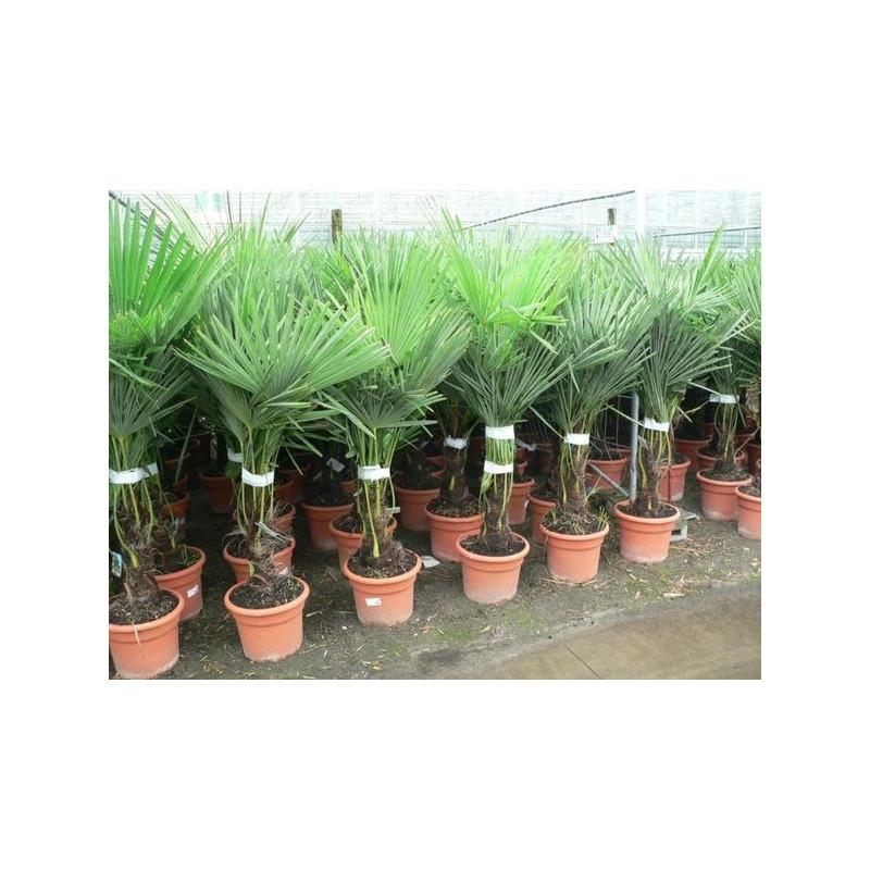 Palmier de chine 140 cm for Plante palmier exterieur