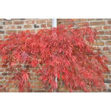 Vente d 39 rable pourpre du japon acer palmatum dissectum - Erable du japon pourpre ...