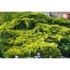 "juniperus ""pfitzeriana aurea"