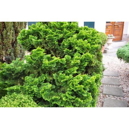 chamaecyparis obtusa nana gracilis
