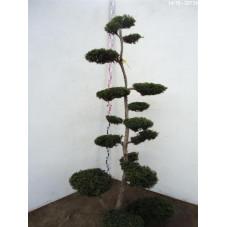 taxus média thayerae - bonsaï