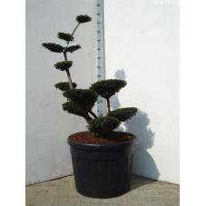 taxus media sebian - bonsaï
