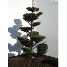 taxus media hatfieldii -...