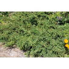 """juniperus communis """"repanda"""""""
