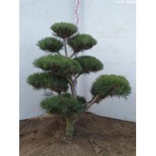 pin sylvestre - bonsaï