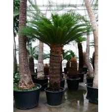 Cycas revoluta  -  250 cm