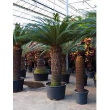 cycas revoluta - 300 cm