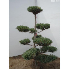 pin parviflora glauca -...