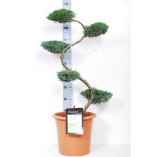 genévrier de Virginie - bonsaï