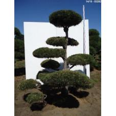 pin noir d'Autriche - bonsaï