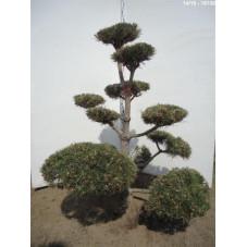 pin noir bonsaï