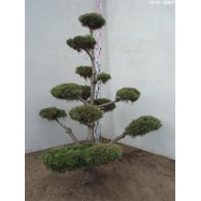 pin des montagnes - bonsaï