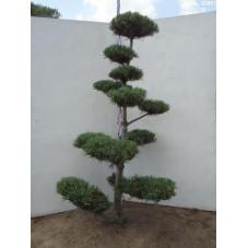 pinus parviflora glauca -...