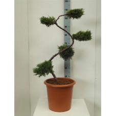 genévrier doré - bonsaï