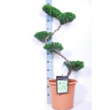 genévrier de Chine - bonsaï