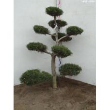 pinus concorta