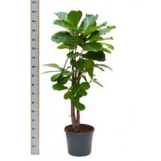 ficus lyrata - 150 cm