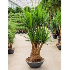 Yucca elephantipes - 180 cm