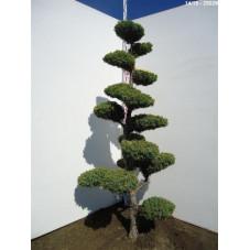genévrier titlis - bonsaï