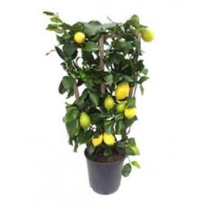 citronnier limon