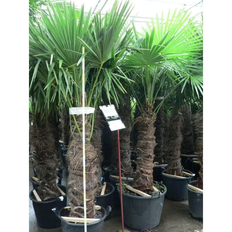 Vente de palmier de chine trachycarpus fortunei for Grosse plante exterieur
