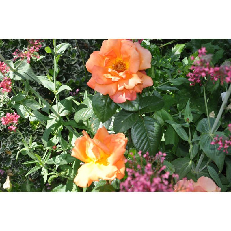 Rosier cuivré à grosses fleurs - Louis de Funès