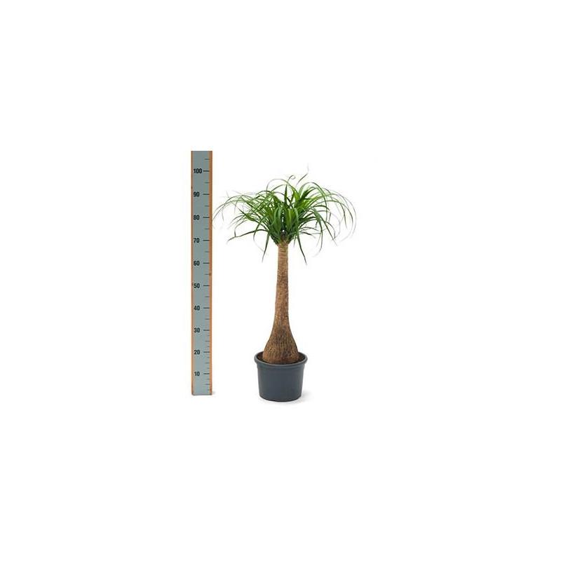 Vente de pied d 39 l phant 100 cm beaucarnea recurvata - Plante verte appelee pied d elephant ...