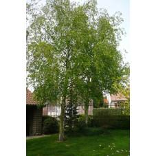 Betula verrucosa alba (bouleau commun)