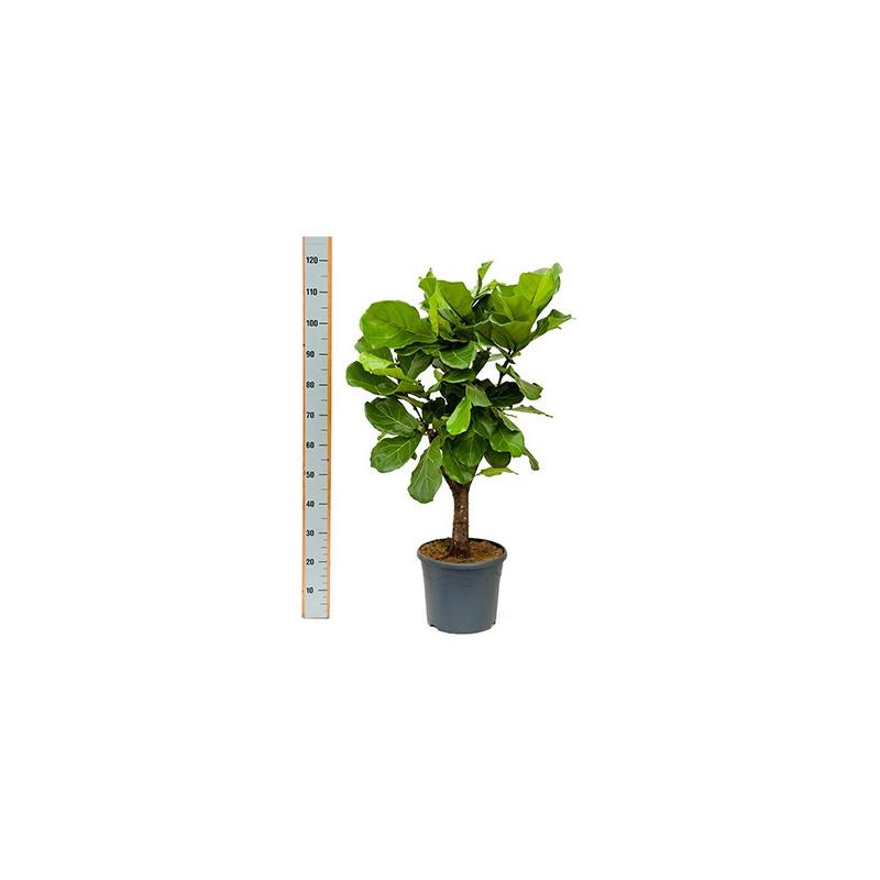 Ficus lyrata arbre for Plantes interieurs