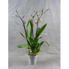 orchidée brassia Toscane -...