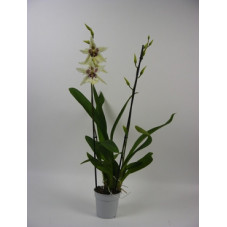 orchidée cambria tahoma...