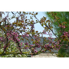 Cercis siliquastrum (arbre de judee)