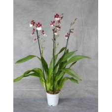 orchidée cambria bartley...