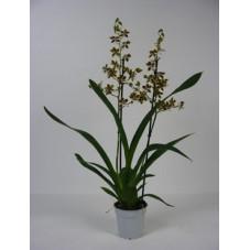 orchidée cambria tropic...