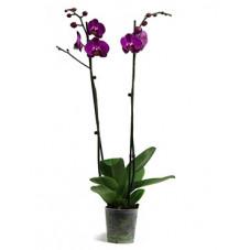 orchidée - phalaenopsis...