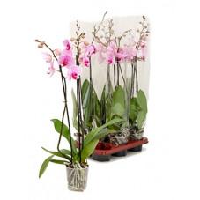 orchidée rose -...