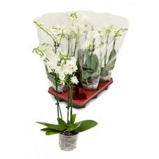 orchidée Esmeralda blanche...