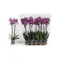 orchidée violet -...