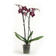 orchidée rouge -...