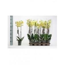 orchidée jaune -...