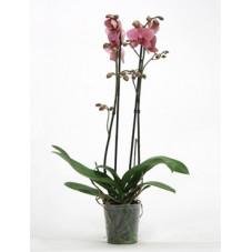 orchidée saumon rose -...