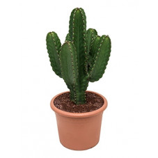 Euphorbia ingens  ramifié