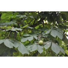 marronnier rouge - briotii