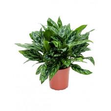 aglaonema maria - 60 cm