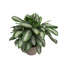 aglaonema diamond
