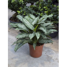 aglaonema painted princess