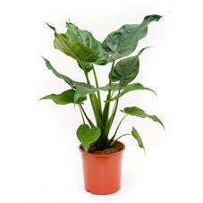 alocasia cuculata